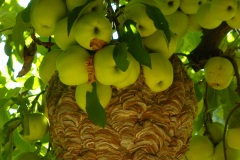 D4217-Bees-and-Apples