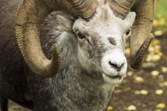 K3020A-Stone-Sheep