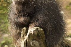 K37667-Porcupine-Chairman-of-the-Board