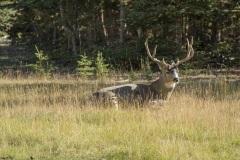 K53559A Yukon Buck