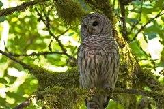 K55448-Bard-Owl