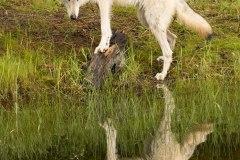 K5A0311 White-Wolf-Reflection
